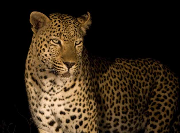 Arathusa Safari Lodge - Male leopard
