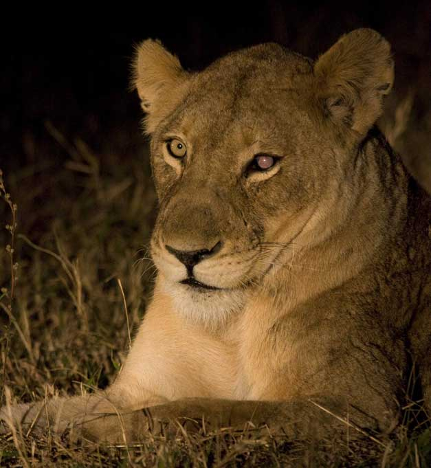 Arathusa Safari Lodge - Old lioness