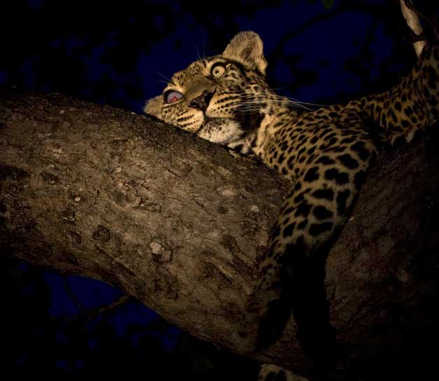 Arathusa Safari Lodge - Female leopard